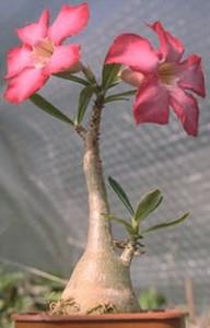 rosa-del-desierto-adenium-2